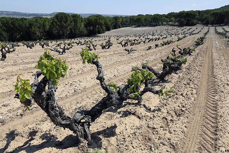 Vega_Sicilia_150_Vines13sm