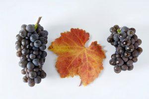 Blaue Trauben, Sorte Ruländer, mit Blatt